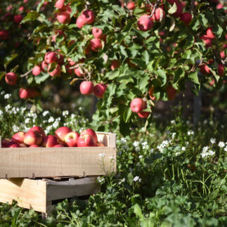 Pink Lady Orchard Apple Harvest 33